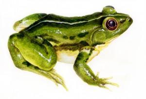 Frog three
